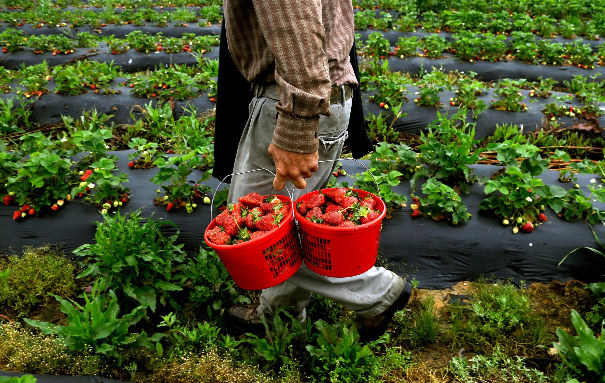 Como Eliminar  los residuos de plaguicidas, Pesticidas e insecticida de las Frutas y Verduras